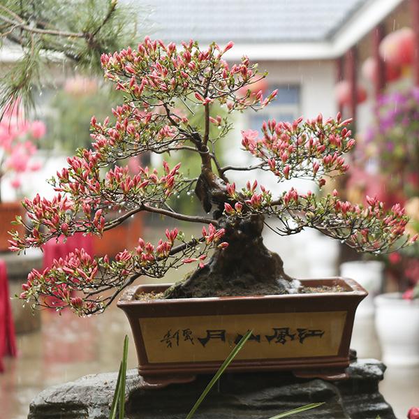 新县第五届根雕 盆景 花卉 奇石联展开幕